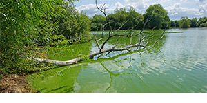 A cyanobacteria blue-green algae bloom in a river.