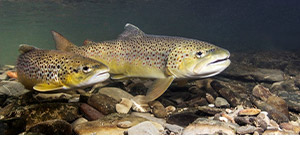 Salmo trutta, commonly known as brown trout, spawning in a shallow river.
